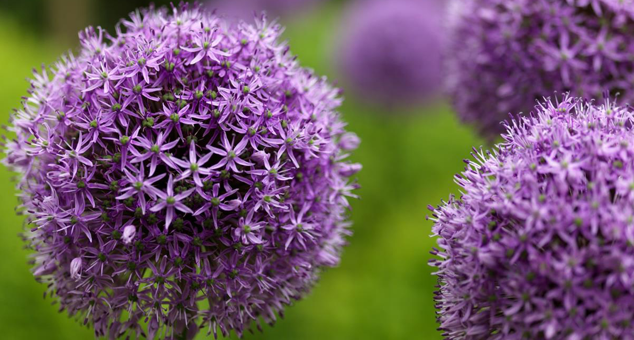 Slate Grey Design Planting Schemes Allium Gladiator